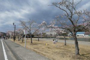 船岡駐屯地の桜並木